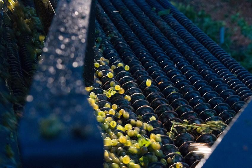 Руэда сортировка винограда