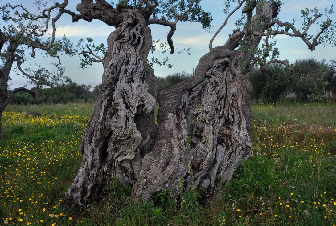 Ulivo antico (Ancient Olive Tree)