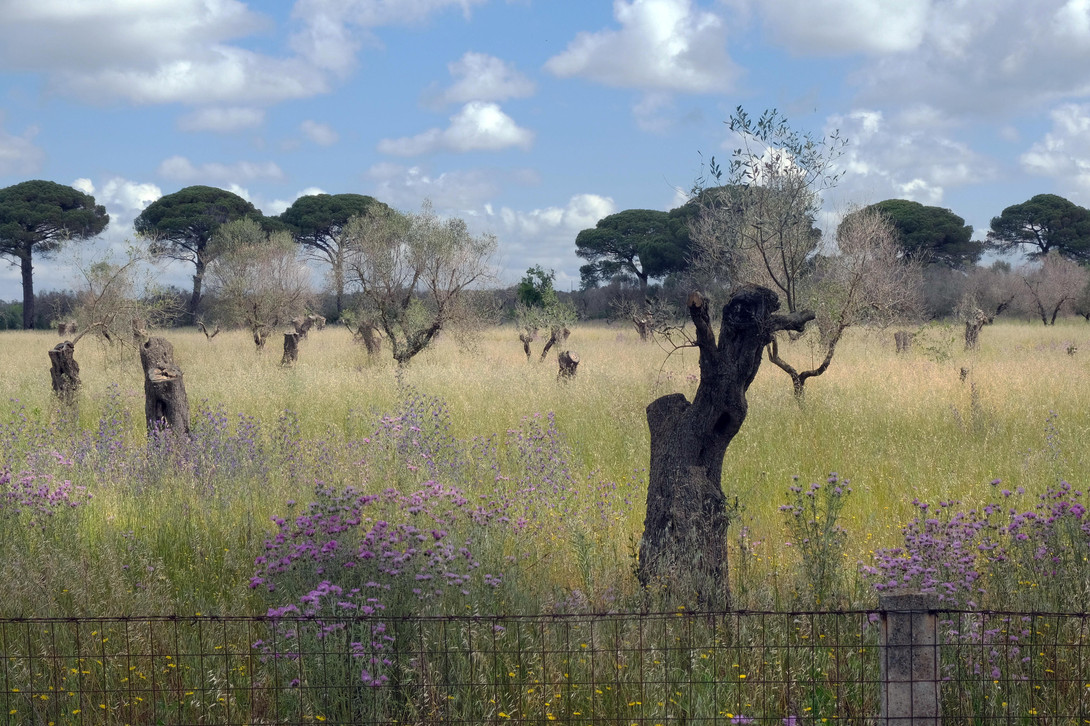 Ulivi secolari che muoiono (Olive Trees Many Centuries Old That Are Dying)