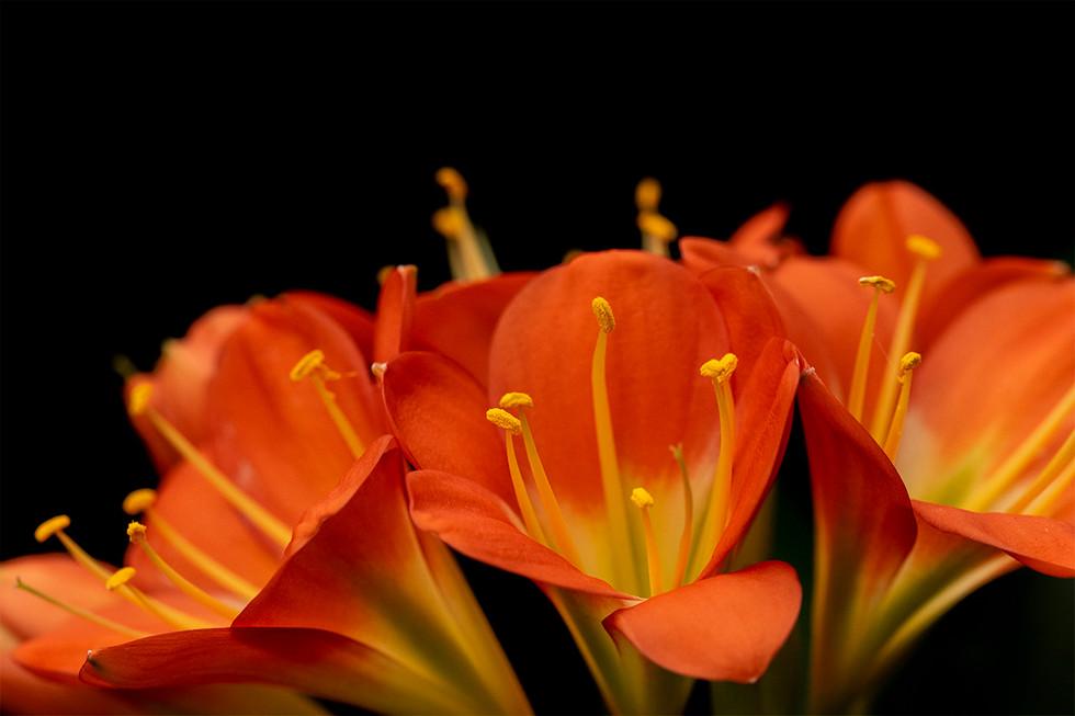 Stephanie Leaver, Orange Tiger Lily