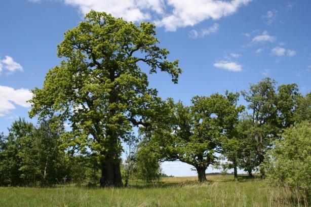 Lietuvoje pradedamas brandžių medžių ir juose gyvenančių itin retų organizmų išsaugojimo projektas
