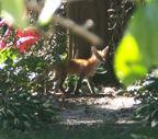 Fox.7.jpg