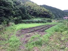 草取り、間引き、芯止め土寄せの作業2(トロロアオイ)