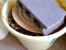 トロロアオイの実験栽培(根の保存)