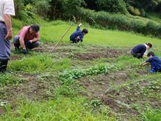 草取り、間引き、芯止め土寄せの作業1(トロロアオイ)