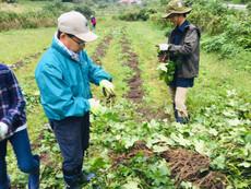 トロロアオイの種と根の収穫作業