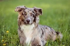 australian-shepherd-5773294_1920_edited.
