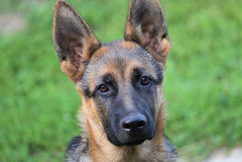 young-german-shepherd-3497964_1920_edite