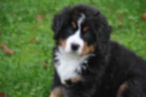 bernese-mountain-dog-1177071_1920.jpg