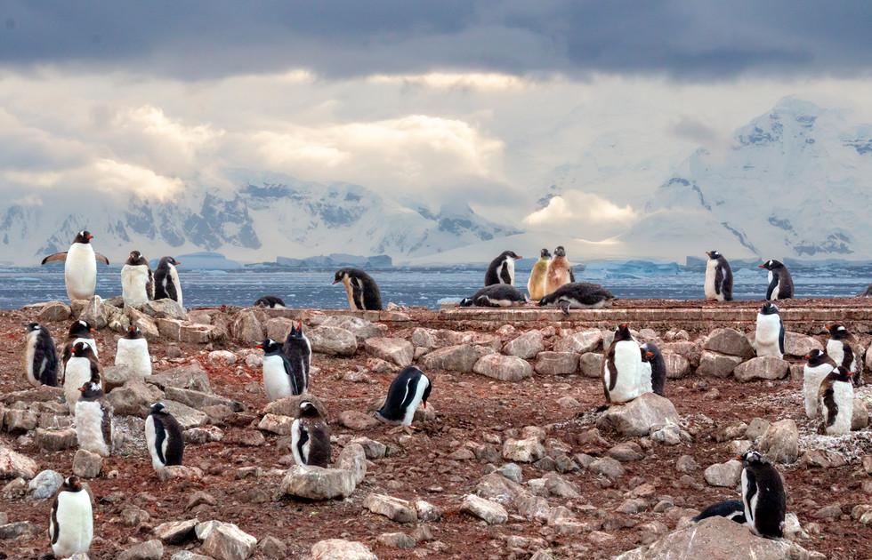 Antarctica Gentoo Penguins III
