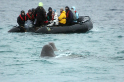 Walruses_Watching_the_Crew_credit_Danielle_Eubank_Svalbard_Oct2014