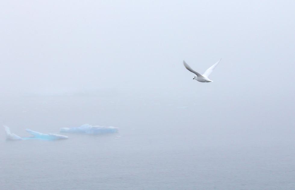 Antarctica Snow Petrel I