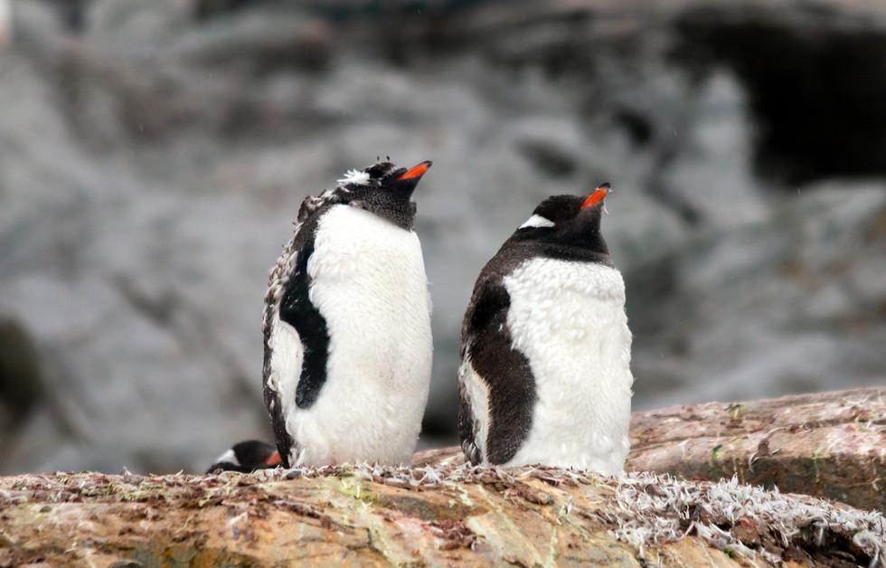 Antarctica Gentoo Penguins II