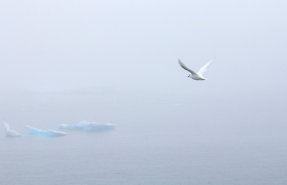 Antarctica Snow Petrel