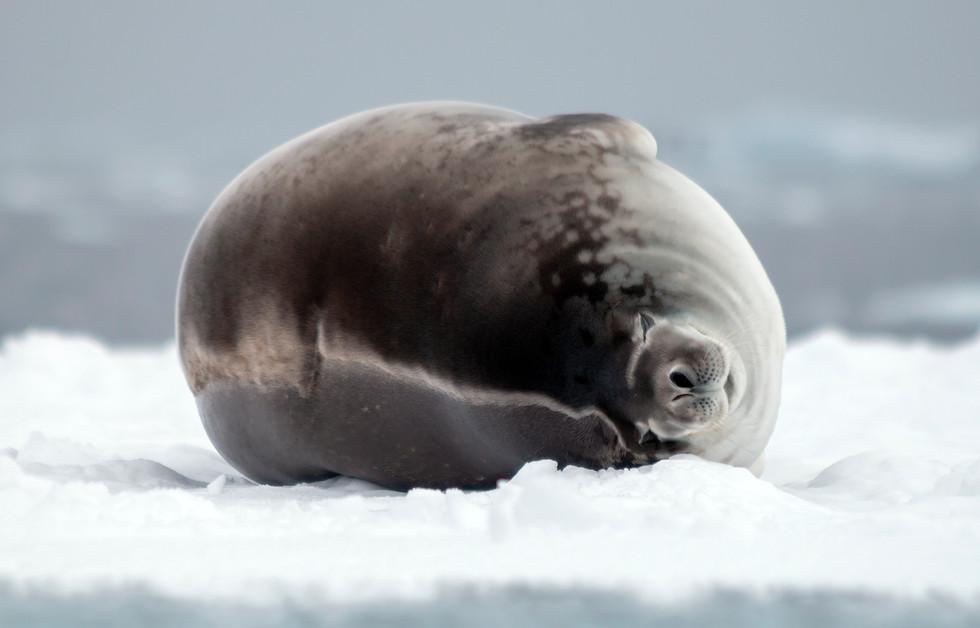 Antarctica Crabeater Seal I
