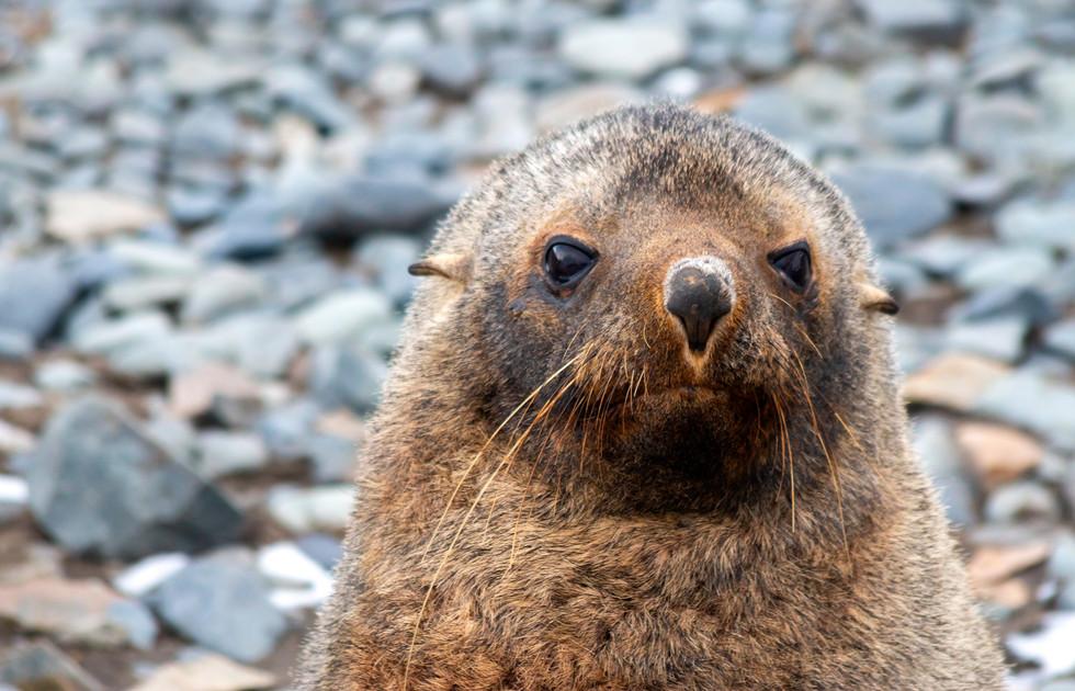 Antarctica Fur Seal I