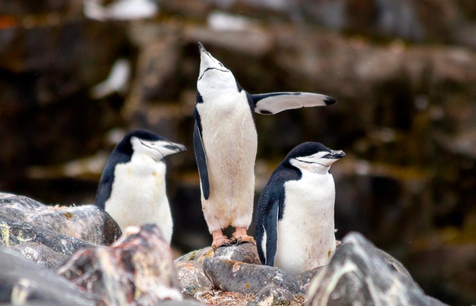 Antarctica Chinstrap Penguins I