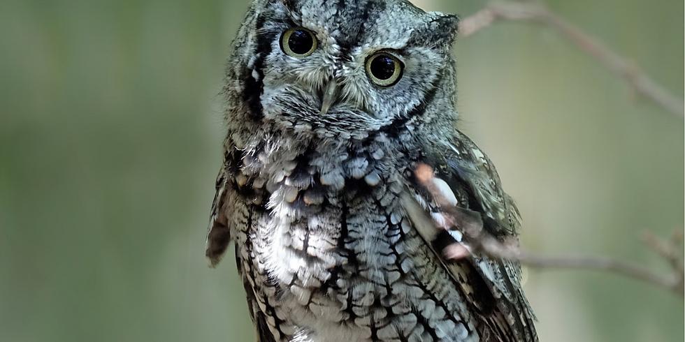 Beginning to Bird: Owls (Adult Program)