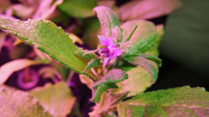 琉璃苣的成長記錄