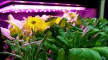 金盞花的成長紀錄