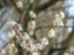 Chimonanthus_1.jpg