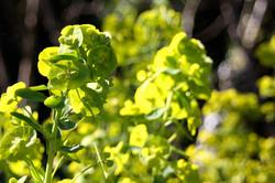 Euphorbia robbiae