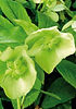 Hellebore, Lime colours
