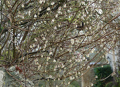 Chimonanthus_2.jpg