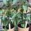 Thumbnail: Organic Chilli Plant Kristian Yellow (hot)