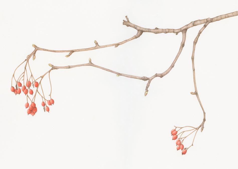 The rowan twig