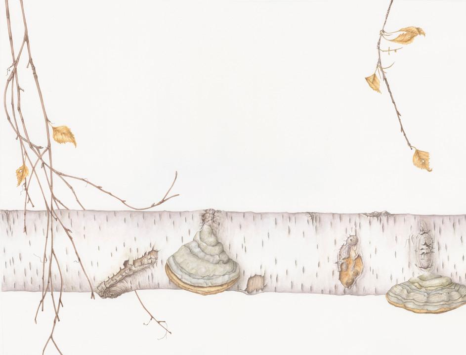 Birch trunk with hoof fungus