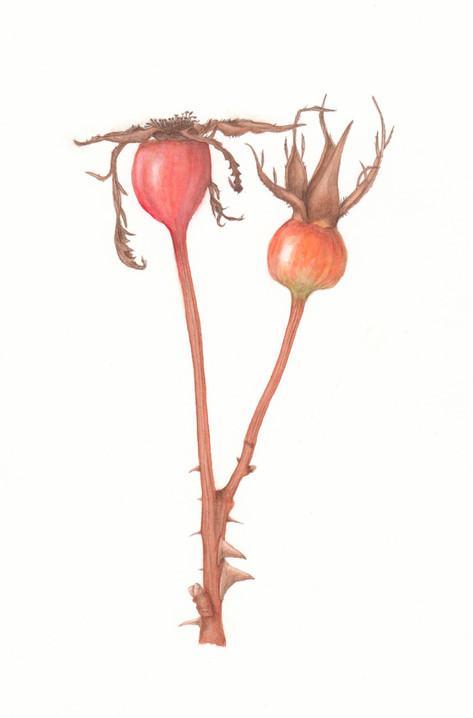 Hip rose