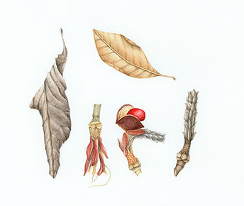 Botanical art print of magnolia leaves and seedpod
