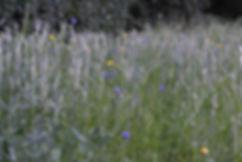 graan met bloemen_park Klarenbeek.jpg