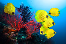 Underwater image of coral reef and Schoo