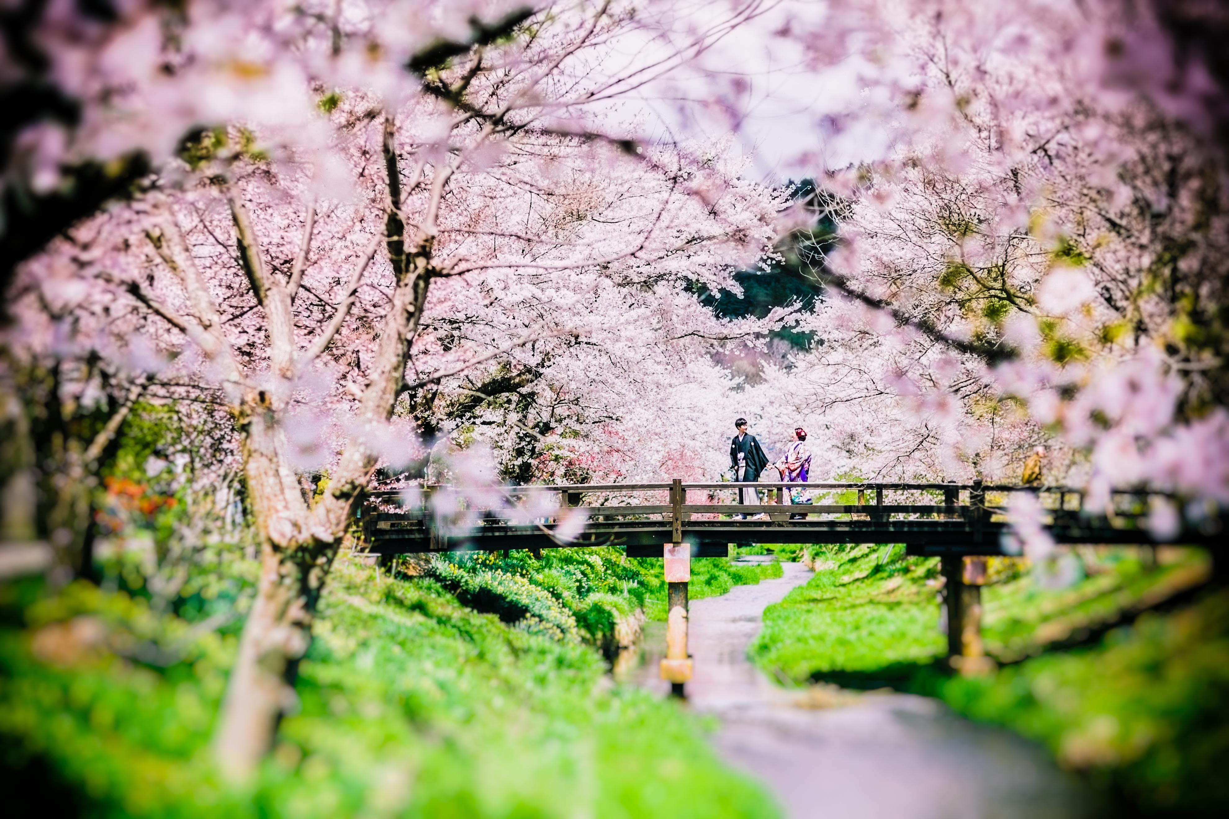 和装・色打掛・前撮り・ロケーション・桜