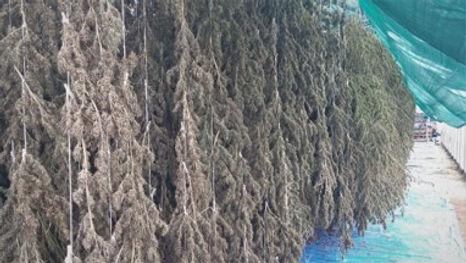 Biomass hanging.jpg