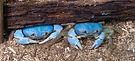 Crabs blue.jpeg