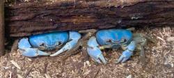 Crabs blue