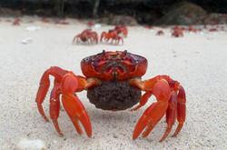 Crab baby2
