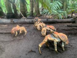 Crabs robber2