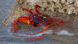 Crabs close water