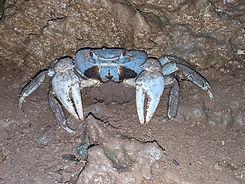 Blue Crab Mum.jpg