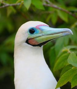 Birds booby