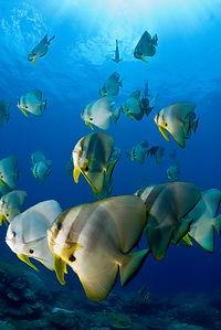 Batfish-UdoVanDongen-large.jpg