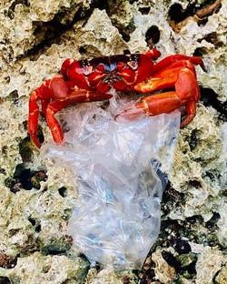 Crab eating plastic