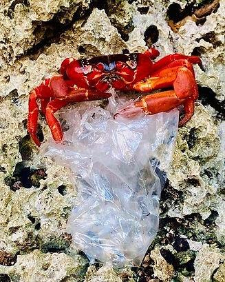 Crab eating plastic.jpg