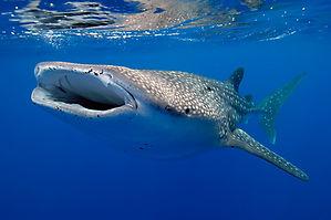 Whalesharkfeeding-RobHughe-medium.jpg