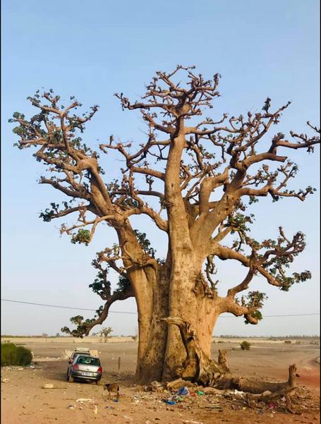 baobab.PNG