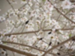 Bachblüten Tiere Cherry Plum